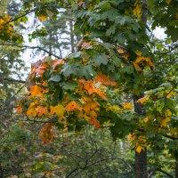 Осень-Лиса :: Сергей Егоров