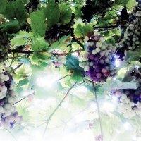 Анапский виноград :: Владимир Ростовский