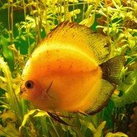 Рыбка-золотая.... :: Святец Вячеслав