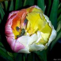 Тюльпан... :: Ирья Раски