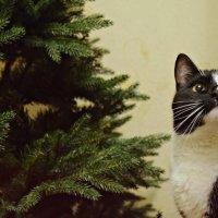 Новогодний кот :: Anastasia М
