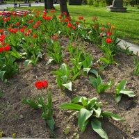 Цветущие  тюльпаны  в  Ивано - Франковске :: Андрей  Васильевич Коляскин