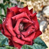 Роза красная моя :: Сергей Егоров