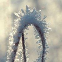 Kорона зимы :: Swetlana V