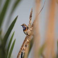 Варакушка — птица в синем «нагрудничке» :: Людмила Василькова