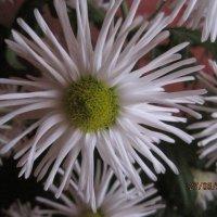 хризантема домашняя :: Tatyana Kuchina