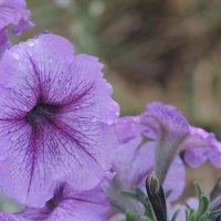 цветы :: Юлия Никитенко