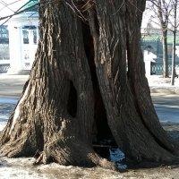 Старое дерево :: Мила