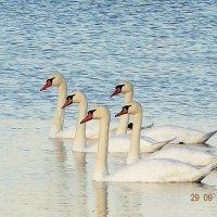 Лебеди :: Алина Ross