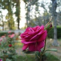 Роза :: Татьяна Исаева