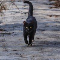 черный кот на дороге :: Svetlana AS