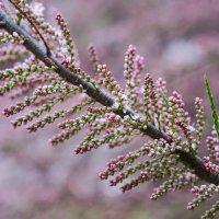 Розовое цветение :: Андрей Майоров