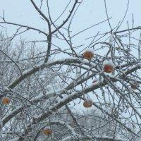 Яблоки в снегу :: Наталия Зыбайло