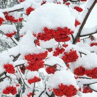 Рябина под снежными шапками. :: Мила Бовкун