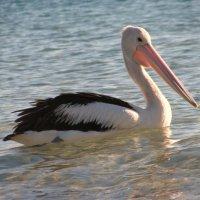Пеликан с острова Моретон :: Антонина