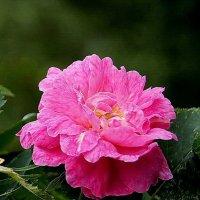 роза :: Елена Кирьянова