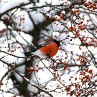Снегирь :: Альбина Тими