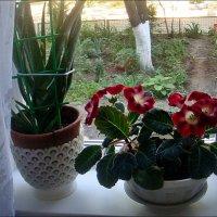 Алоэ и глоксиния - приятное соседство :: Нина Корешкова