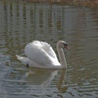 Белый лебедь на пруду :: Сергей Дьяков