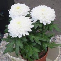 Эти белые цветы :: Дмитрий Никитин