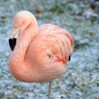 Розовое фламинго :: Сергей Стреляный
