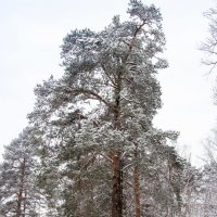 Лесной великан :: Оксана Пучкова