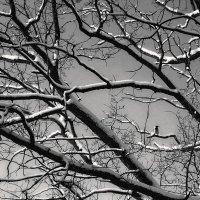 Ворона на дубе или высоко сижу :: Galina