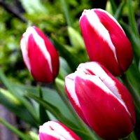 тюльпан :: Александра Беляева