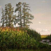 кукуруза :: александр макаренко