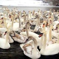 Лебеді :: Степан Карачко