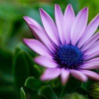 Просто цветок :: Андрей Майоров