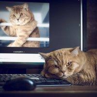 Portrait of the British cat. :: Илья В.