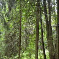 Муравейник в лесу :: Ирина Бархатова