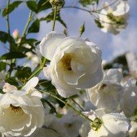 Розы белые январь :: Александр Деревяшкин