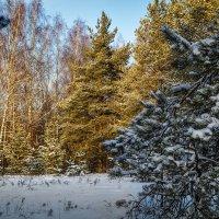 Сосны и Ёлки :: Андрей Дворников
