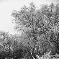 Белые березы :: Мария Кондрашова