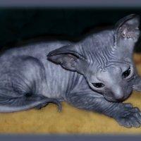 И снова к нашим........кошкам....( если энто можно назвать  кошкой))))) :: Людмила Богданова (Скачко)