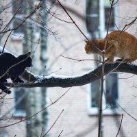 Коты-Конкуренты :: Алексей Корнеев