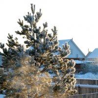 Рождественские морозы :: Kristin Minasova