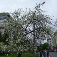 Белая  черёмуха  душистая .... :: Андрей  Васильевич Коляскин