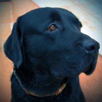 Черный пес :: Светлана