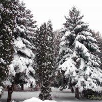 Ели в зимнем парке :: Виктория Стукалина