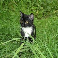 Кошка Симка :: Булаткина Светлана