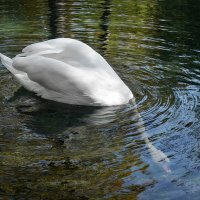 Белый лебедь Гриша. :: Александр Л......