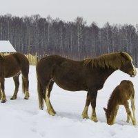 Папа, мама, я - лошадиная семья :: Владимир Максимов