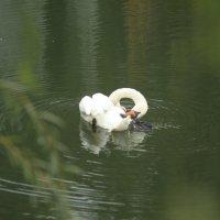 Лебедь на пруду :: Irina Gizhdeu