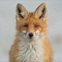 Портрет рыжего лиса :: Анна Солисия Голубева