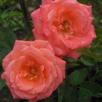 Розовые розы :: Танцюра Татьяна