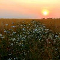 Ромашки в закате :: Анна Куценко