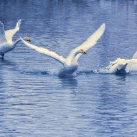 из жизни лебедей.... :: Галина Шепелева